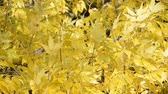 ahornbaum : autumn yellow leaves background