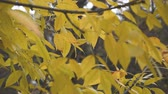 ahornbaum : Yellow leaves background