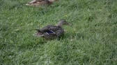 volaille : duck on green grass Vidéos Libres De Droits