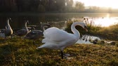 lago de los cisnes : Beautiful Swan bird in the pond, animal wildlife Archivo de Video