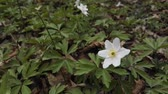 trawa : Wood Anemones, White forest lower background or texture HD footage Wideo