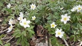 생생한 : Wood Anemones, White forest lower background or texture HD footage 무비클립