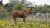 barna : Brown grazing horse on horse farm at spring day