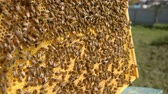 imkerei : beekeeper look at honey in honeycombs in the home hive hd stock footage