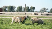 pastvisko : sheep eat green grass on a farm hd footage