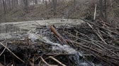 bóbr : A stream in the forest with a beaver dam hd stock footage
