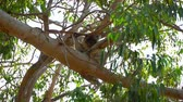 eukaliptus : Koala in the Tree Australia Parks near Perth