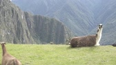 hiking trail : Llama in the top of the Machu Pichu Archieological Lost City of the Inca