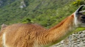 trilhas : Llama in the top of the Machu Pichu
