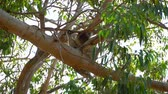 eukaliptus : Koala in the Tree Australia Parks