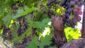 красное вино : Grape clusters. Grapes ready to be picked at a Napa Valley vineyard. Стоковые видеозаписи