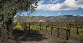vadi : Vineyard Landscape. Napa Valley, California during springtime when the mustard plant blooms.
