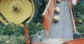 berendezés : Cantaloupes rolling down harvesting conveyor belt