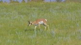 antilop : Pronghorn grazing at Custer State Park. Stok Video