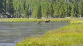 скрестив : Two elk crossing a river Camera Locked.