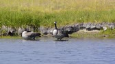 yellowstone : Canada Geese foraging along a river in Yellowstone National Park. Camera Locked