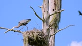 tollazat : A Great Blue Heron at her nest with chick. Camera locked