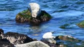 Harbor Seals napping on rocks in Monterey Bay. Tide is incoming, disturbing the rest. Camera locked.