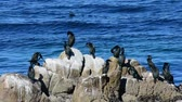 Cormorants on a rock in Monteey Bay, California. Camera locked. Stock Footage