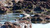 záliv : A Canada Goose feeding in a tide pool, Monterey Bay, california. Camera locked.