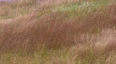 Hillside of wavy grass. Custer State Park, South Dakota. Camera Locked. Stock Footage