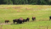 búfalo : American Bison grazing in a field near Custer State Park, South Dakota. Camera hand held.