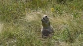 Prairie dog grazing in the grass at Custer State Park, South Dakota. Camera handheld.