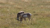 yellowstone : Two Antelope bucks are grazing in a field in Custer State Park, South Dakota. Camera handheld.