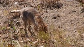 yellowstone : A Coyote locates and catches a meal under ground at Yellowstone national Park, Wyoming. Camera handheld. Stock Footage