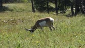 antilop : An Antelope grazing in a field at Custer State Park, South Dakota. Camera handheld.