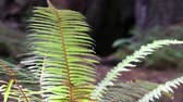 Fully lighted fern swaying gently in the breeze. Camera locked. Stock Footage