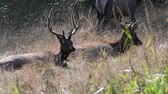 venado : Lazy Elk basking in the morning sunlight. Camera locked. Archivo de Video