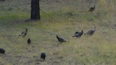 spacer : Flock of turkeys grazing in a field.