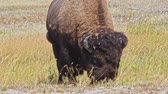 yellowstone : Buffalo grazing in a field in Yellowstone National Park. Camera tracking the animal. Stock Footage