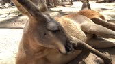 queensland : Gold Coast, Australia. Red kangaroo resting in the shade. Stock Footage