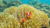 sulawesi : Nemo clown fish in the anemone on the colorful healthy coral reef. Anemonefish nemo couple swimming underwater. Scuba diving coral reef scene with nemo and anemone. Stock Footage