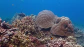 tubbataha : Underwater wide seascape scenery with fish and coral reef