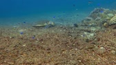 tubbataha : Underwater sea turtle feeding on the bottom. Stock Footage