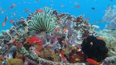tubbataha : School of tropical fish and sea lily on the colorful underwater coral reef. Stock Footage