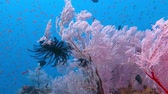 tubbataha : Colorful underwater tropical coral reef with lots of fish, pink soft corals, sea fans, black sea lily and blue water.