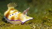 sulawesi : Underwater nudibranch on the sea sandy bottom in the strong current.