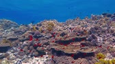 soft coral : Coral reef, blue sea and school of red fish in shallow water Stock Footage