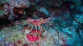 turks : Big red spiny lobster, crayfish walking on the coral reef