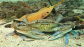 bahamské ostrovy : Big grey blue crab on the sandy bottom