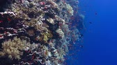 comoros : Healthy coral reef  wall, small fish and deep blue water. Stock Footage