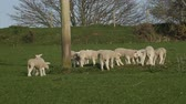 ovelha : Group of lambs playing in rural field in spring Stock Footage