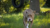 olhos castanhos : Slow motion shot of a beautiful tan colored red nose pit bull dog walking towards the camera in front of a tree tire swing.