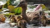 river : Duck family in the rose pond Stock Footage