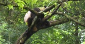 giant panda : Close up of One Giant panda bear relax sitting in the tree outdoor in Sichuan China,4k Stock Footage