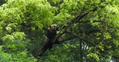 giant panda : One Giant panda bear relax lie sleep in the tree outdoor in Sichuan China,4k
